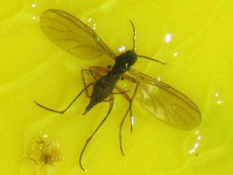 Nematodes to control Fungus gnats