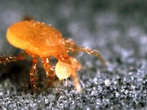 Predatory soil mites to control Thrips