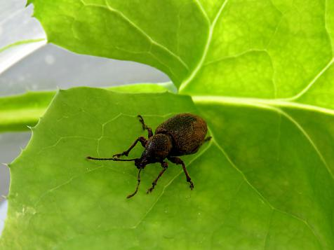 Mixture nematodes to control weevils - Winter and Spring