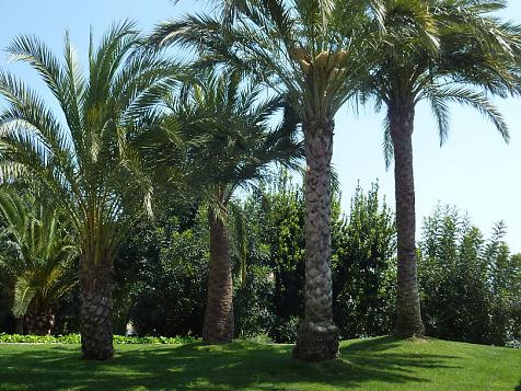 The Palm trees. Most common pests