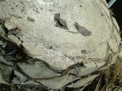 Transversal-tronco-palmera