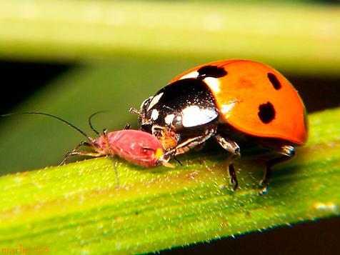 Garden pests / Aphids