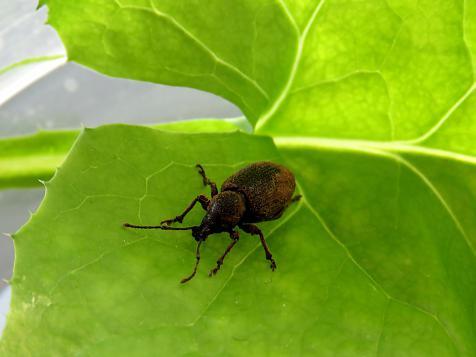 Garden pests / Weevils