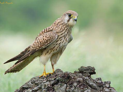 The Kestrel or Soliguer: An unexpected ally in the fight against the red weevil.