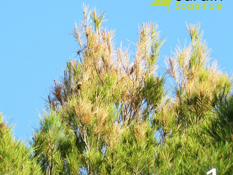 Infestation of pine trees in Javea and surroundings